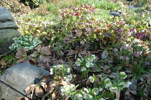 Helleborus orientalis, Lenten-Rose