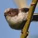 Juvenile Long-tailed Tit 1