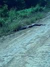 ANACONDA: Sucuri gigante é vista em estrada de fazenda; veja vídeo