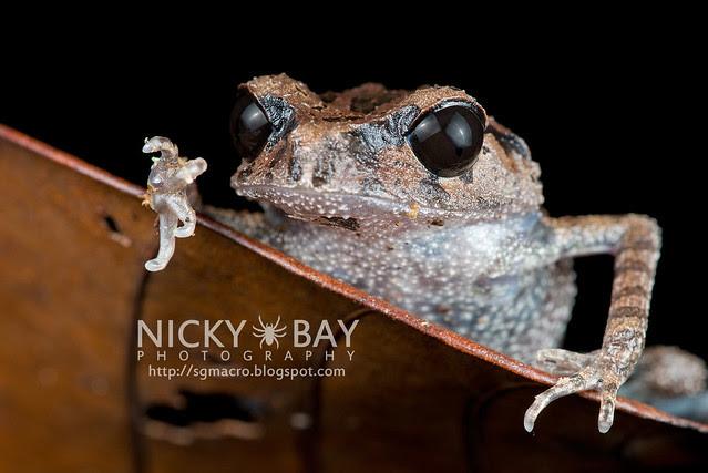 Black-eyed Litter Frog (Leptobrachium nigrops) - DSC_1484
