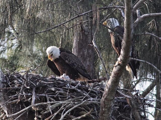 Bald Eagle female turns to feed the eaglets 20140205