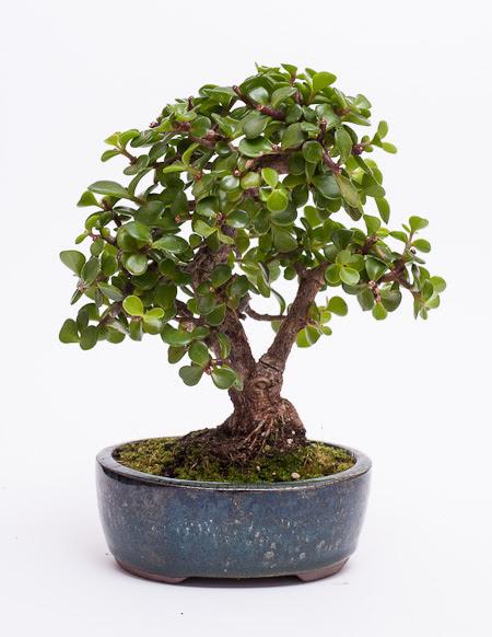 Erstgestaltung Jadebaum Portulacaria Afra