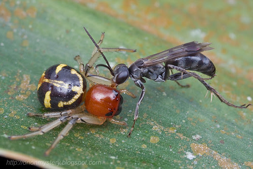 Pompilidae Wasp with spider prey..IMG_3256 copy
