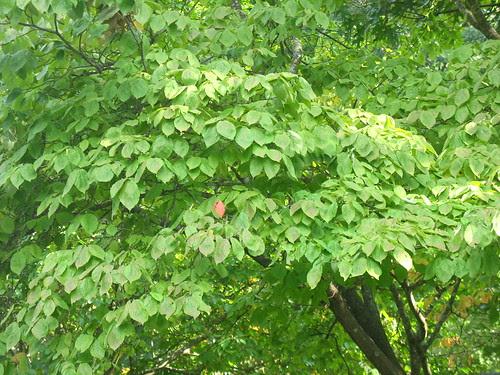 nature note dogwood changeIMG_3118