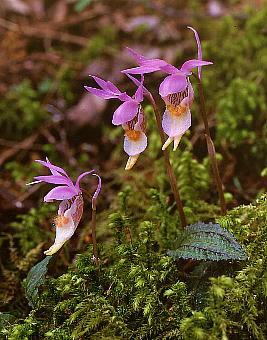 orchidaceaeランホテイラン