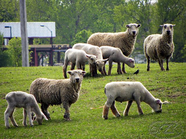 DSCN3442 Zim's sheep Friends