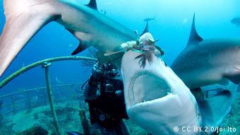 Alimentar manualmente a los tiburones de los arrecifes del Caribe con los peces león resultó ser demasiado arriesgado para los buzos.