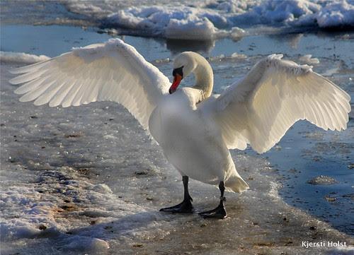 svane på isflak/swan on ice