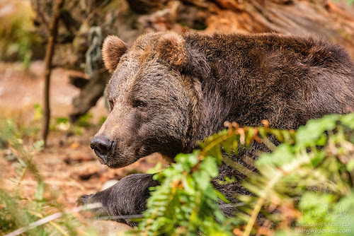 Grizzly Bear Resting (Captive)