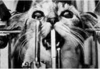 bilde av katt i skrustikke med åpen hjerne