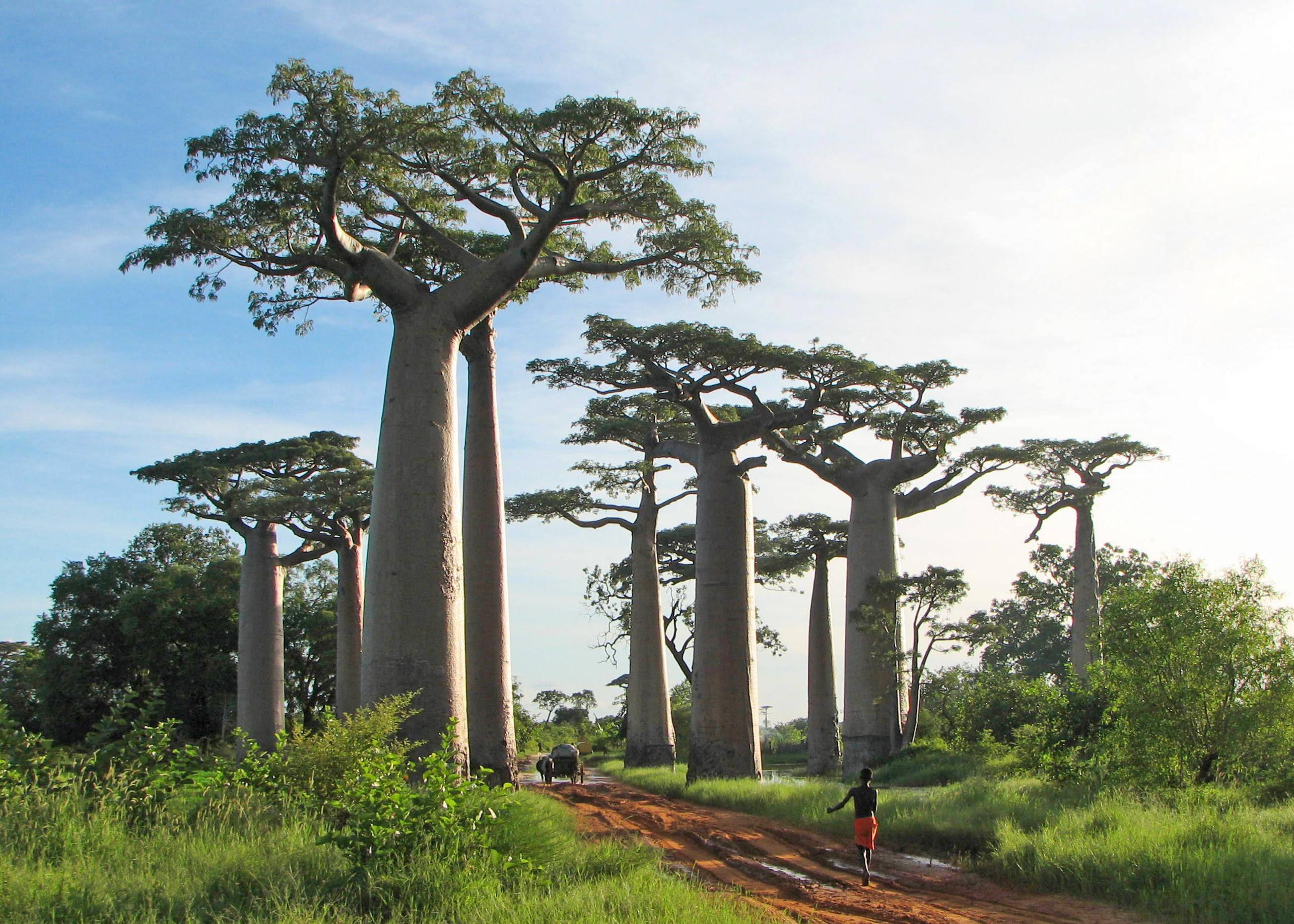 Adansonia grandidieri02 Baobab   The Upside Down Tree [25 Pics]