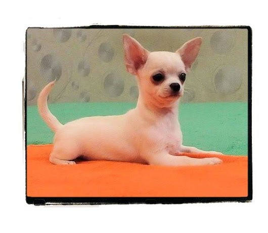 Chihuahua Puppies for Sale North Carolina-Chihuahua Breeders