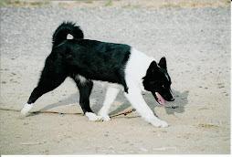 Karelian Bear Dog 6 month puppy