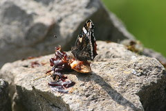 Red admiral on plums