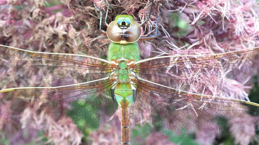 Green Darner Dragonflies At Rosetta McClain Gardens