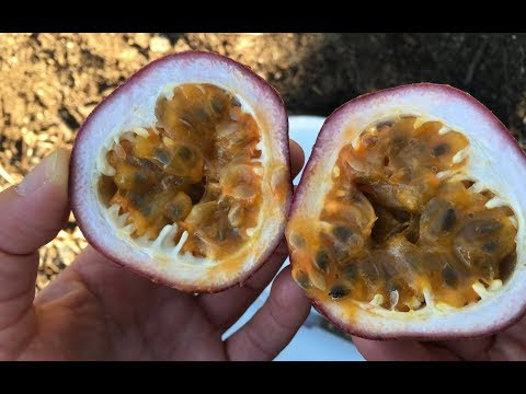 Grafted Passionfruit Pandora Panama Red