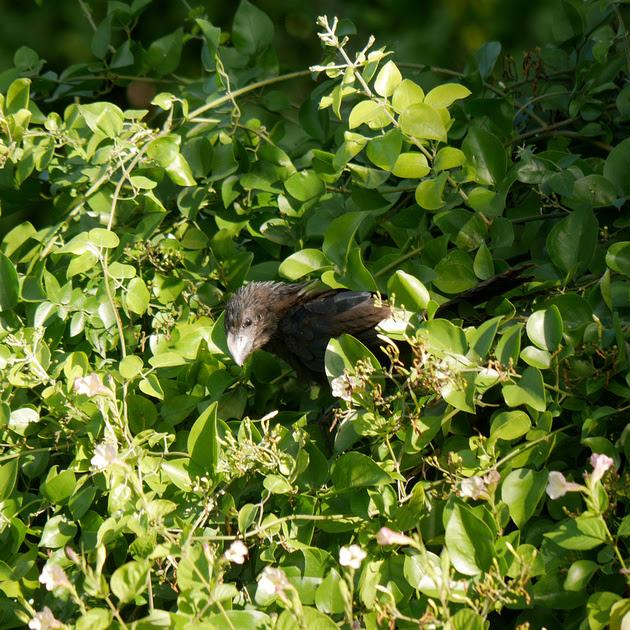 Ed Gaillard: birds &emdash; Smooth-Billed Ani, New Providence, Bahamas