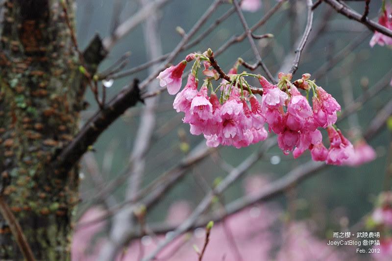2012_0227_雨之櫻。武陵農場DSC_4327_22