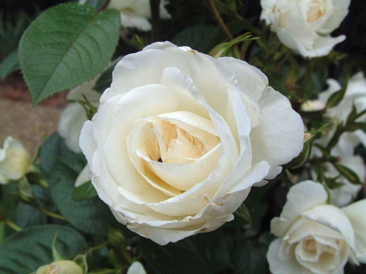 Rosas Blancas Silvestres Imagenes Y Fotos