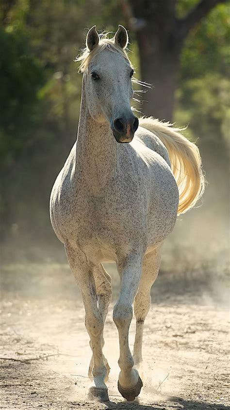 arabian horse photo gallery wallpaper  images