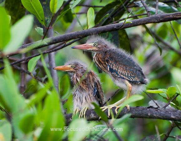 Juvenile Green Herons