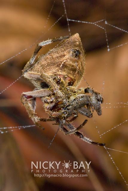 Common Garden Spider (Parawixia dehaani) - DSC_7609