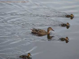 mother duck and her brood