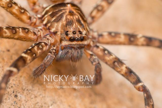 Huntsman Spider (Sparassidae) - DSC_5160