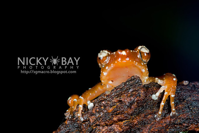 Spotted Tree Frog (Nyctixalus pictus) - DSC_6311