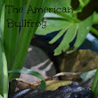 The American Bullfrog » The Garden Frog Boutique