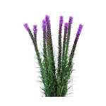 Purple Liatris Flower 10 Bunch