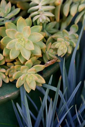 sedum x adolphii and dianella cassa blue