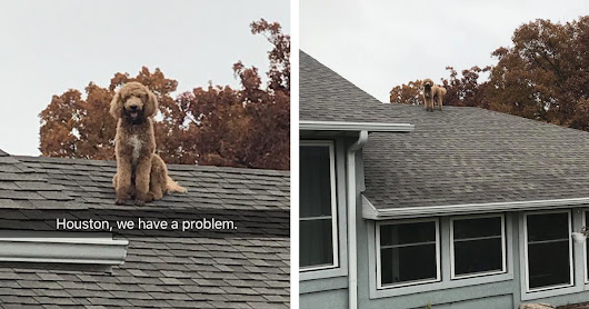 Missouri Woman Finds Poodle On The Roof Of Her House - The Dodo