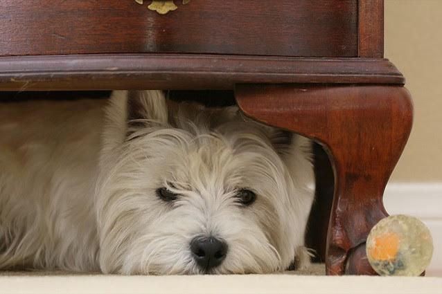 Come aiutare i cani che hanno paura dei botti di Capodanno.