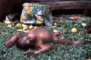 """<p>Ejemplar joven de orangután de Borneo(<em>Pongo pygmaeus</em>)clasificado en la categoría 'en peligro crítico' / <a href=""""https://es.wikipedia.org/wiki/Pongo_pygmaeus"""" target=""""_blank"""">Wikipedia</a></p>"""
