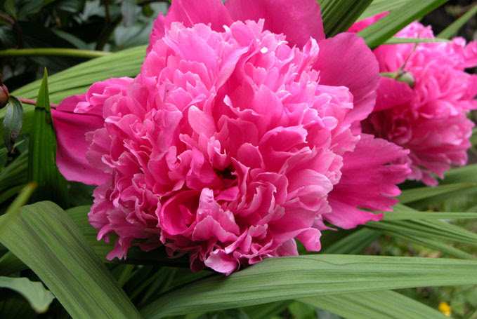 Image result for Peonies on Betty MacDonald Farm