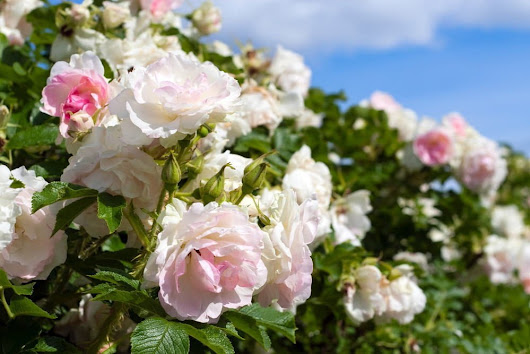 6 Gorgeous Rose Bushes You Should Plant This Year | Millcreek Gardens