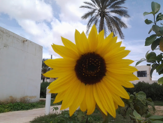 Sunflower and Palmtree