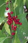 Schisandra chinensis 2.jpg