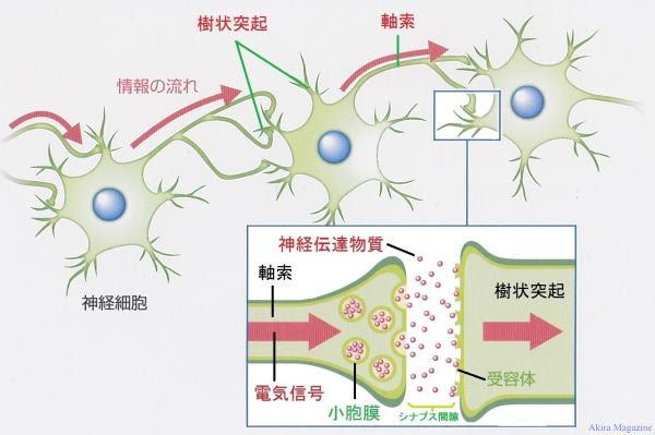 神経細胞体のお話し ミトコンドリア ニューロン シナプス
