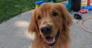 Community Finds Missing Golden Retriever After Rollover Accident