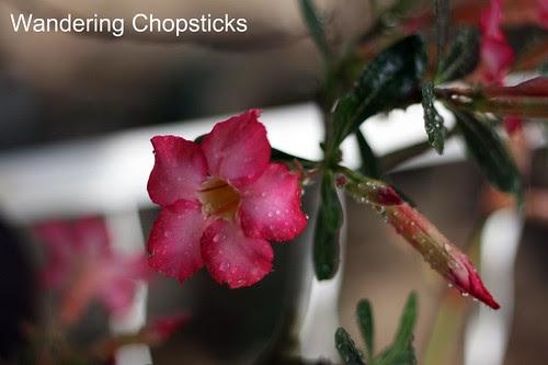 7.28 Desert Rose and Blueberries 3