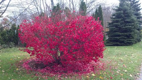 Red bush shedding
