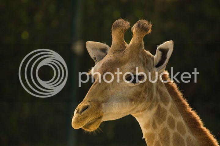 photo _girafa_zpstlerbiqr.jpg