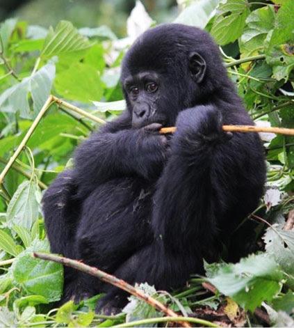 3 Days Gorilla tracking Rwanda