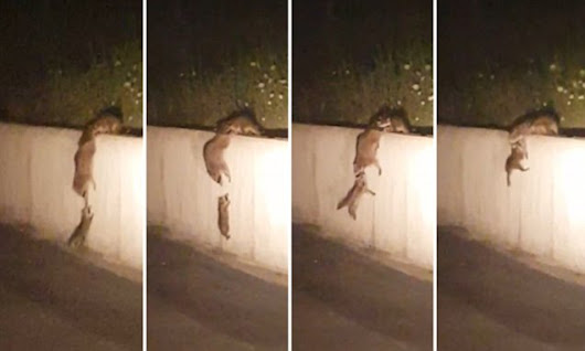 Adorable video shows raccoons helping their baby climb a wall