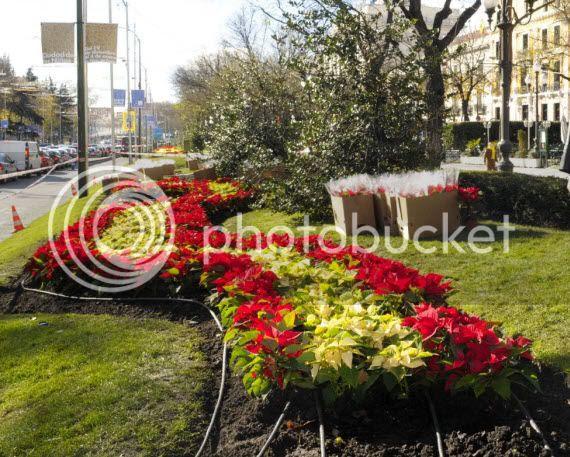 flores de pascua en Madrid