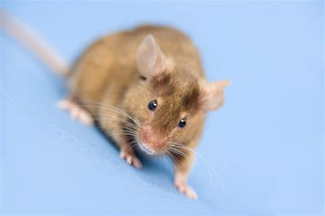 How to Get Rid of Mice in Heating Ducts   Home Guides   SF Gate