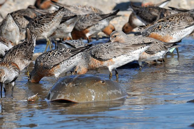 photo HorseshoeCrabbirds_zps8f126015.jpg