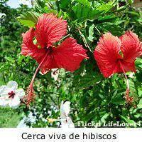 Jardim de Verão - hibiscus - cerca viva
